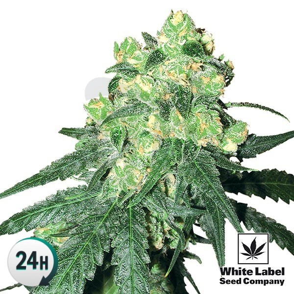 White Label Rhino regular