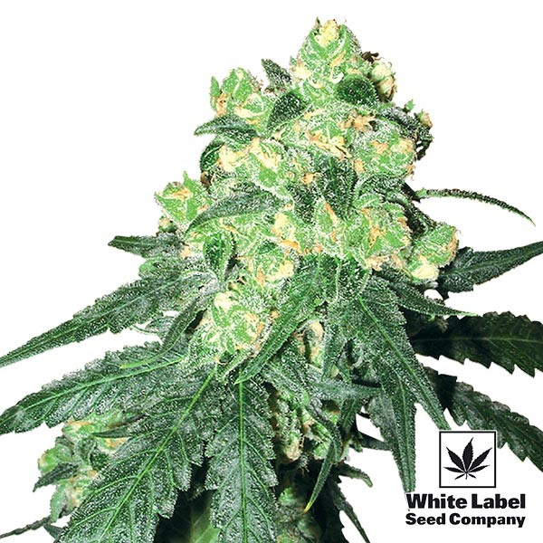 White Label Rhino Régulière
