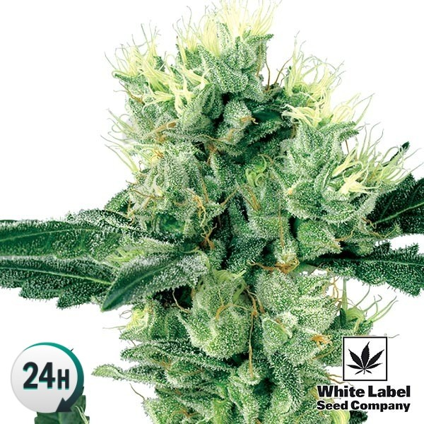 White Haze Regular