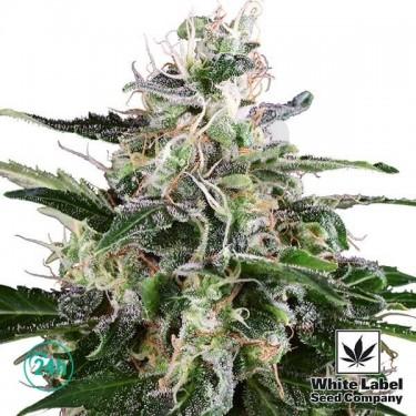 Plante de cannabis White Skunk Automtic
