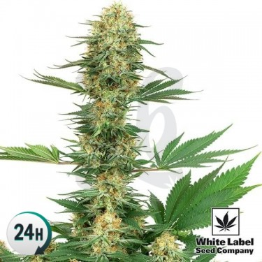 Gelato 420