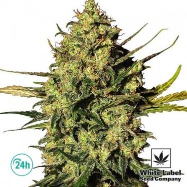 Plante de cannabis Master Kush Automatic