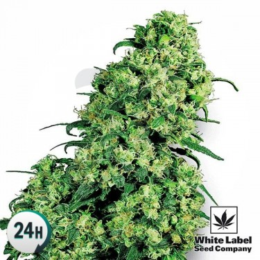 Skunk 1 cannabis strain