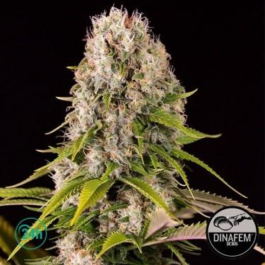 Diesel marijuana plant