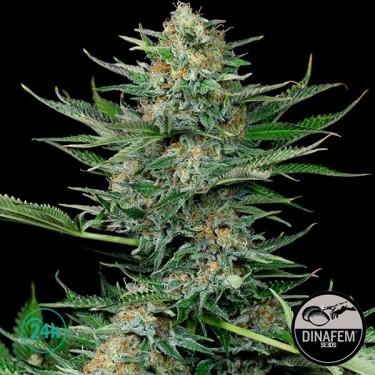 Industrial Plant marijuana strain