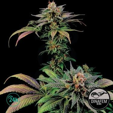 Blue Widow  marijuana plant