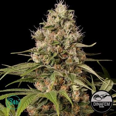 Shark Shock CBD cannabis plant