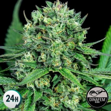 Cheese CBD Cannabis Plant