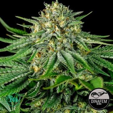 Bubba Kush CBD Cannabis Plant