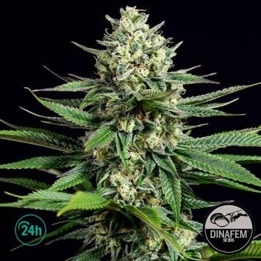 OG Kush CBD Plante de cannabis