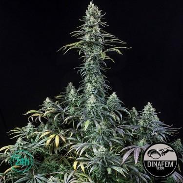 Early Amnesia CBD Plante de marijuana