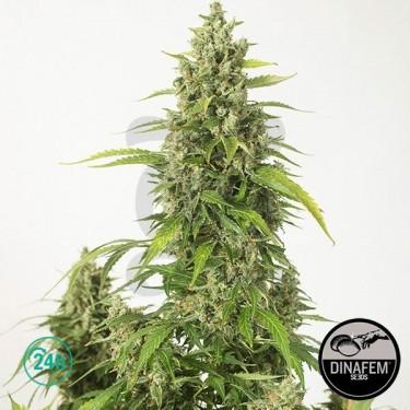 Plante de marijuana Haze XXL Auto