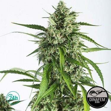 White Widow Autoflowering CBD Cannabis Plant