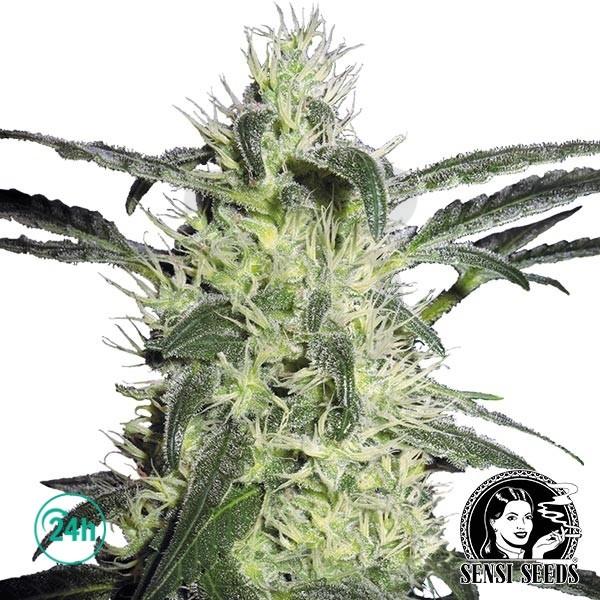 Silver Haze Régulière