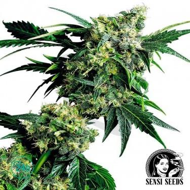 Mr.Nice G13 x Hash Plant regular