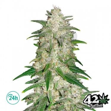 Gelato Auto - Marijuana Plant