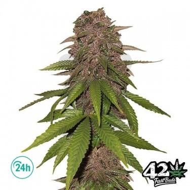 C4 Auto Cannabis Plant