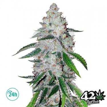 West Coast OG Auto Cannabis Plant