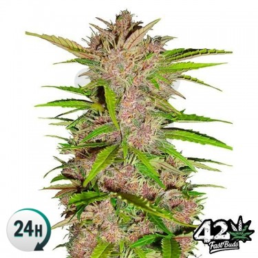 Fastberry Auto Cannabis Plant