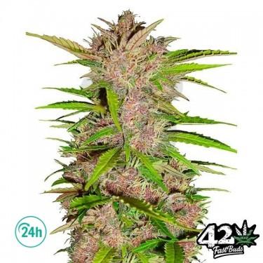 Fast Berry Auto Plante de marijuana
