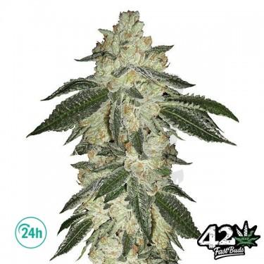 Green Crack Auto Cannabis Plant