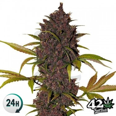 LSD-25 Auto Cannabis Plant