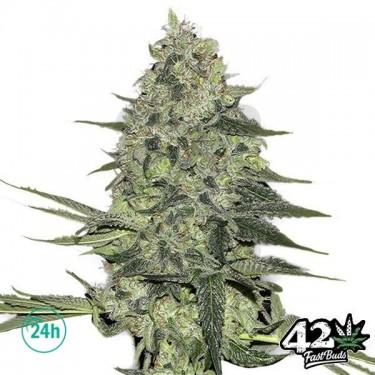 Rhino Ryder Auto Cannabis Plant