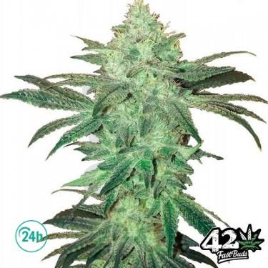 Stardawg Auto Cannabis Plant