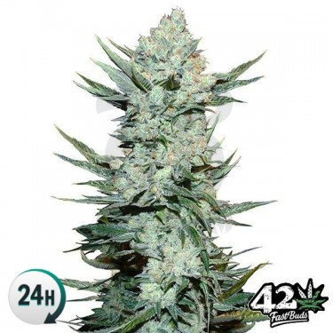Tangie Matic Auto Cannabis Plant