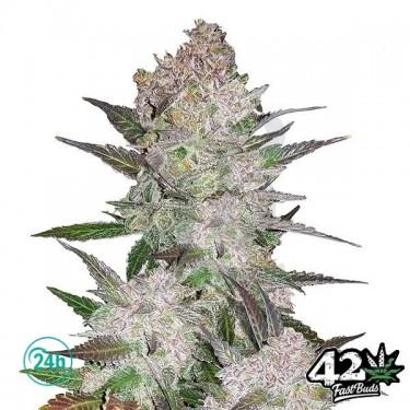 Cream Cookies Auto Cannabis Plant