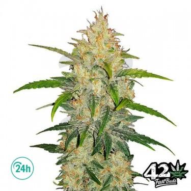 Zkittlez Auto - Marijuana Plant