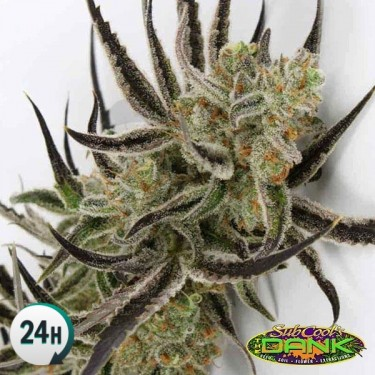 Afgoo Overdrive régulière Plante de marijuana