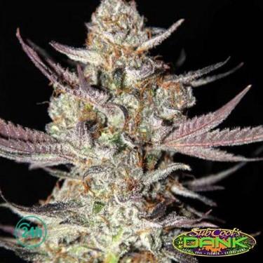 Marionberry Kush Régulière Plante de marijuana