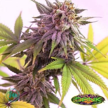 Pina Rita régulière Plante de marijuana