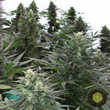 Safari Mix Plante de marijuana