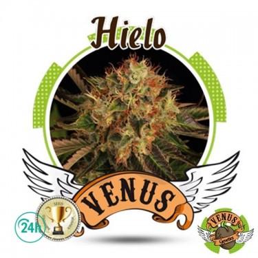 Hielo marijuana plant
