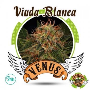 Viuda Blanca cannabis plant
