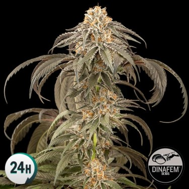 Purple Afghan Kush marijuana plant
