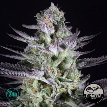 Blueberry Cookies Marijuana Plant