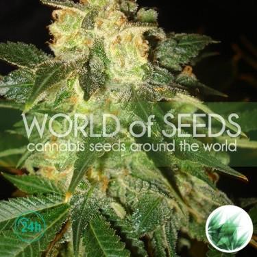Plante de marijuana Pakistan Ryder Auto