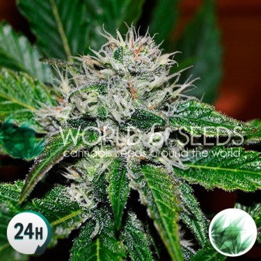 Amnesia Ryder cannabis plant