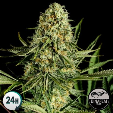 Critical Cheese Cannabis Plant