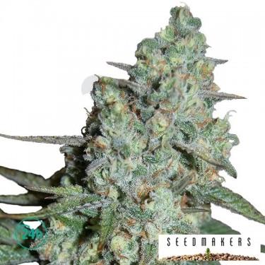 Wonder Skunk Plante de marijuana
