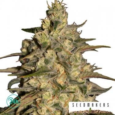 Silver Jack marijuana plant