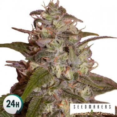 Orange Light marijuana plant