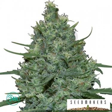 Critical cannabis plant