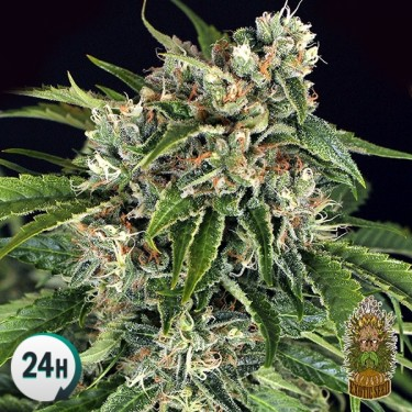 Sir Jack Auto Pure CBD