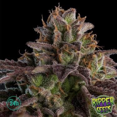 Kmintz Plante de marijuana