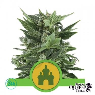 Royal Kush Automatic plante de marijuana