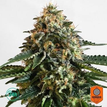 THCV cannabis strain